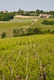 Barbera vineyard – Italy