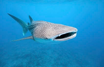 Visit Mexico This Summer to See Whale Sharks in the Yucatán Peninsula