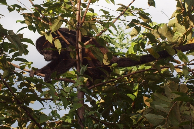 Howler monkeys are a common site in the trees of the northern Pacific coast.