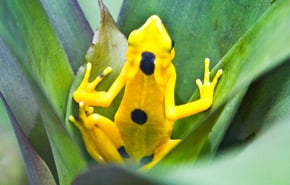 El-Valle----Golden-Frog