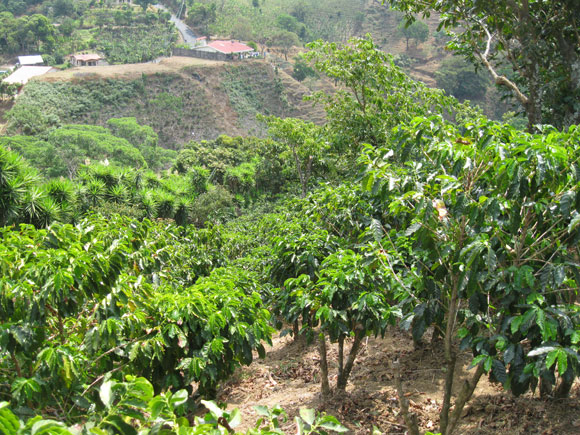 Some of the best coffee in the world is grown on fincas in the mountainous Central Valley region.
