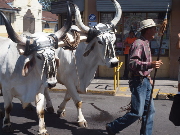 Decades ago oxcarts were the vehicles of choice for Costa Rican farmers. Today, they are used only in parades to celebrate the country's agricultural heritage.