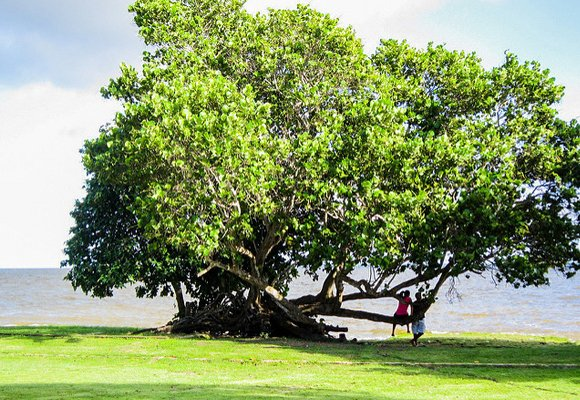 Walking along the coastline you'll find lush, leafy trees, such as this sea grape tree. These sturdy trees provide a welcome rest spot where you can enjoy the view and the breeze.